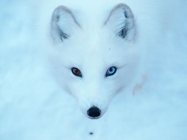 İki Farklı Göz Rengine Sahip Hayvanlar